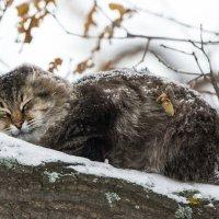 Дикий кот :: Андрей Плеханов