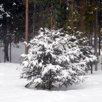 Надели елки на лапки снежные перчатки!!! :: Наталья Пендюк Пендюк