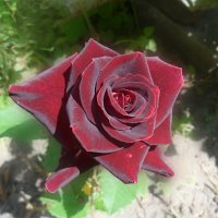 Бархатная роза. :: Наталья