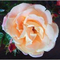 Последняя роза ноября :: Natali