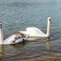 Лебеди. :: Геннадий Оробей