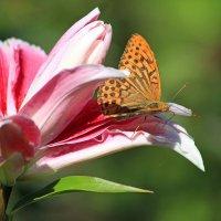 Бабочка и лилия :: И.В.К. ))