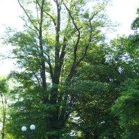 Деревья  в  Мемориальном  сквере :: Андрей  Васильевич Коляскин
