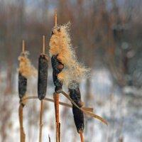 камыш зимой :: Владимир Артюхов