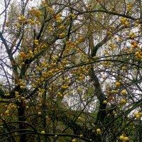 ветки в яблоках (без листьев) :: Александр Прокудин