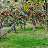 Яблоневый сад на кордоне. :: ирина )))