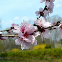 Весны цветение :: Nina Streapan