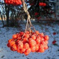 Рябина под сахаром . :: Мила Бовкун
