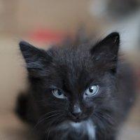 черный кот :: Елена Лапина