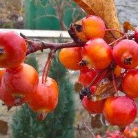 """Райские"" яблочки... :: Андрей ТOMА©"