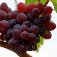 Крымский виноград :: Ирина Фирсова