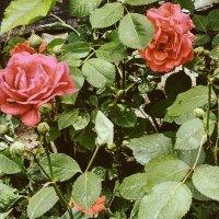 розы :: Ольга Сафонова