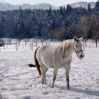 белый конь :: Elena Wymann