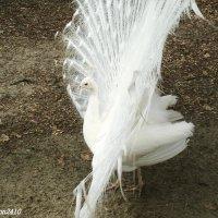 Белый павлин :: Нина Бутко
