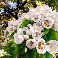 Весенних яблонь аромат :: Андрей Шейко