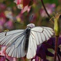 Sagita одевает в шубки даже бабочек...)) :: Владимир Хиль