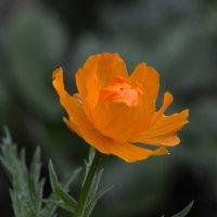 Цветок троллей :: Николай Ярёменко