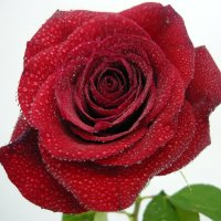 Роза с капельками :: Вера Щукина