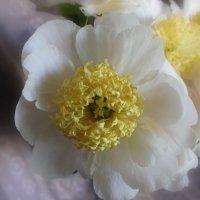 Белый древовидный пион :: Наталья Золотых-Сибирская