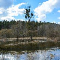 Весеннее болотце :: Yelena LUCHitskaya