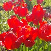 Тюльпаны :: Александр Акилов
