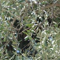 Оливковое дерево :: Ефим Хашкес