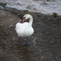 Лебедь :: BoxerMak Mak