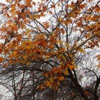 Осенние листья чинары :: Светлана