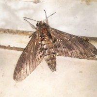 Анапская ночная бабочка :: Владимир Ростовский