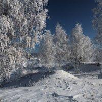 Сибирские берёзки на конкурсе красоты... :: Александр Попов