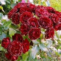 Целый букет алых роз! :: Лия ☼