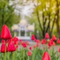 Тюльпаны) :: Юрий Гребенюк