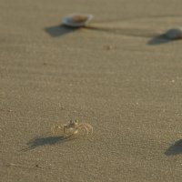 Такие мелкие и быстрые....крабики на берегу :: Елена Береговых