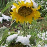 Подсолнух в первый день зимы :: Дмитрий Никитин