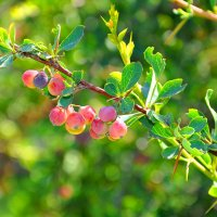 ягода :: Валерия Бунак