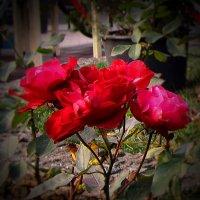 Декабрьские розы :: Людмила