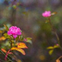 Последние цветы ноября :: Денис Красненко