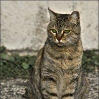 Ален Делон с с соседнего двора -из серии Кошки очарование мое! :: Shmual Hava Retro