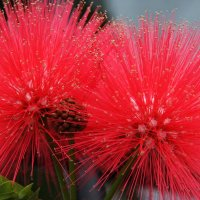 Привези мне Апенький цветочек! :: Антонина