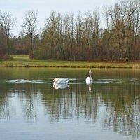 Белые лебеди - птицы прекрасные! Самые верные, в небе бесстрашные... :: Galina Dzubina