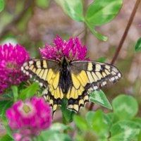 бабочка полосотник :: Екатерина Кузьмина