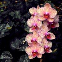 об орхидеях :: Павел Баз