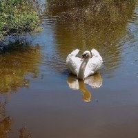 А белый лебедь на пруду... :: Валерий Изотов