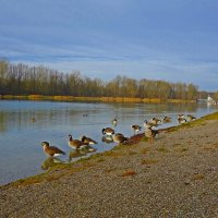 Канадские гуси-редкие гости на нашем озере :: Galina Dzubina