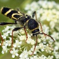 Занятой  жук :: Геннадий С.