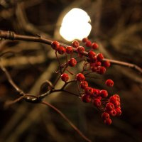 ноябрьские рябинки :: Нина Насыпова
