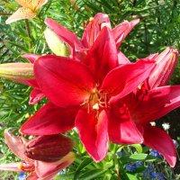 Красная лилия :: Стас Борискин