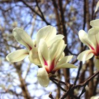 Магнолия в ботаническом саду :: Светлана