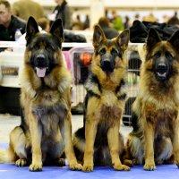 Выставка собак г.Киев :: НАТАЛЬЯ КРИВОКОЛИНСКАЯ
