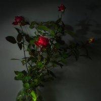 Зимние розы и мороженая вишня. :: Наталья S